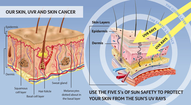 Our Skin - The Facts